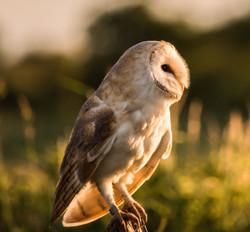 Barn Owl 10