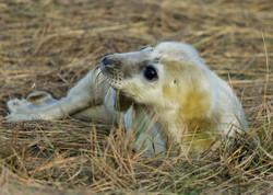 Seal Pup 14