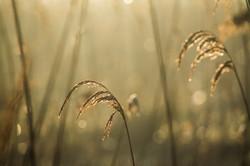Reeds13