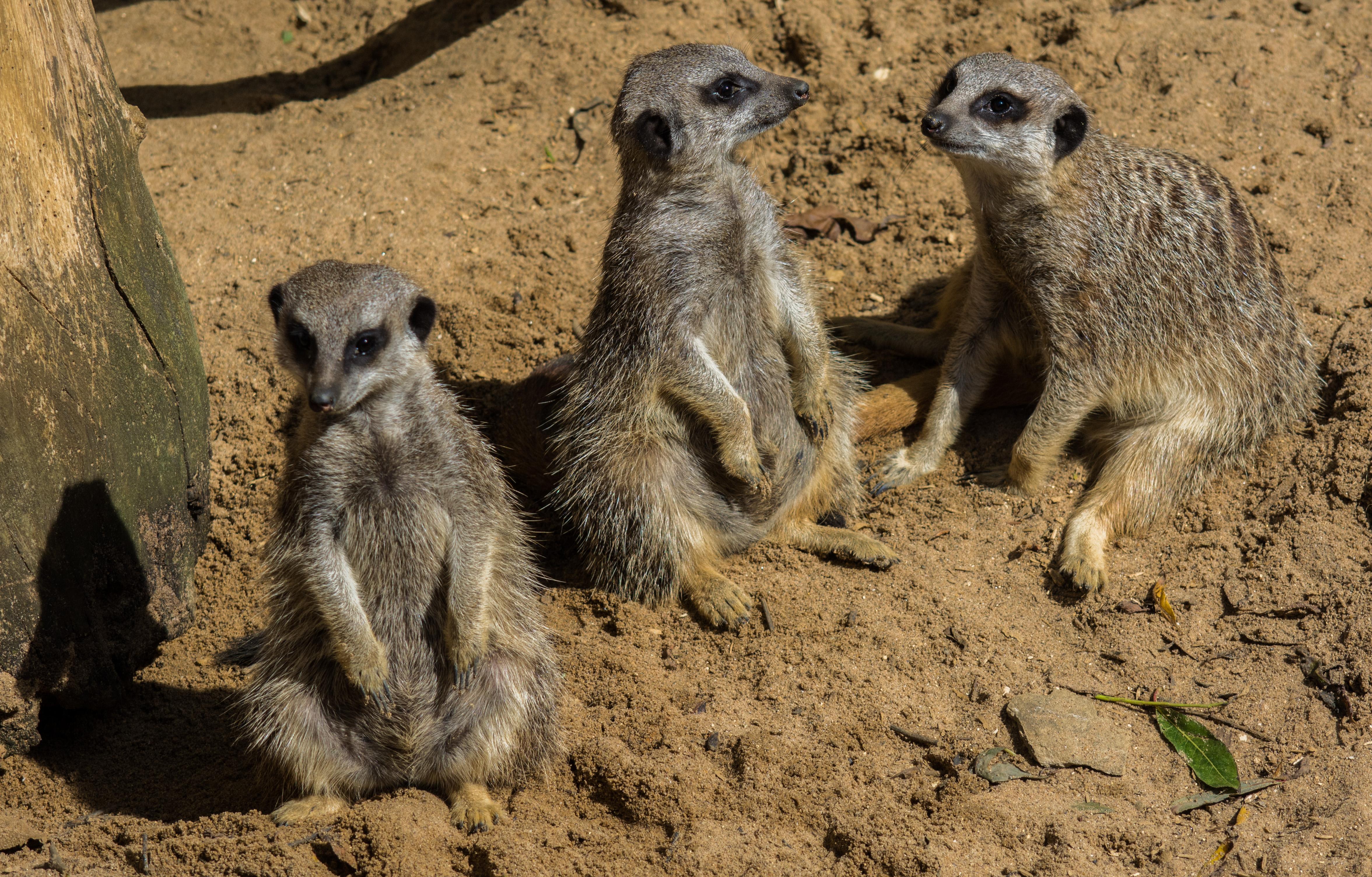 Meerkats 9