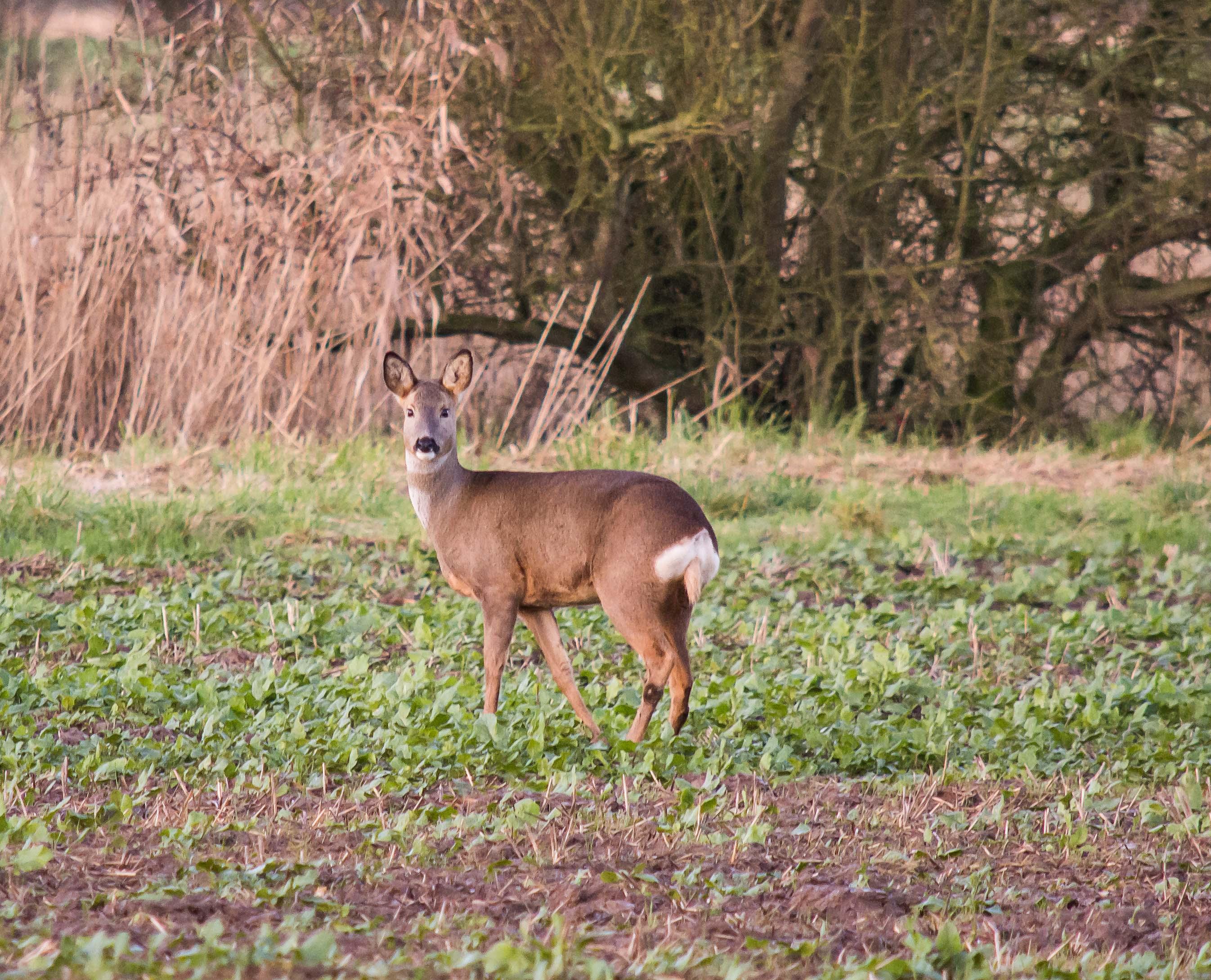 Roe deer 8