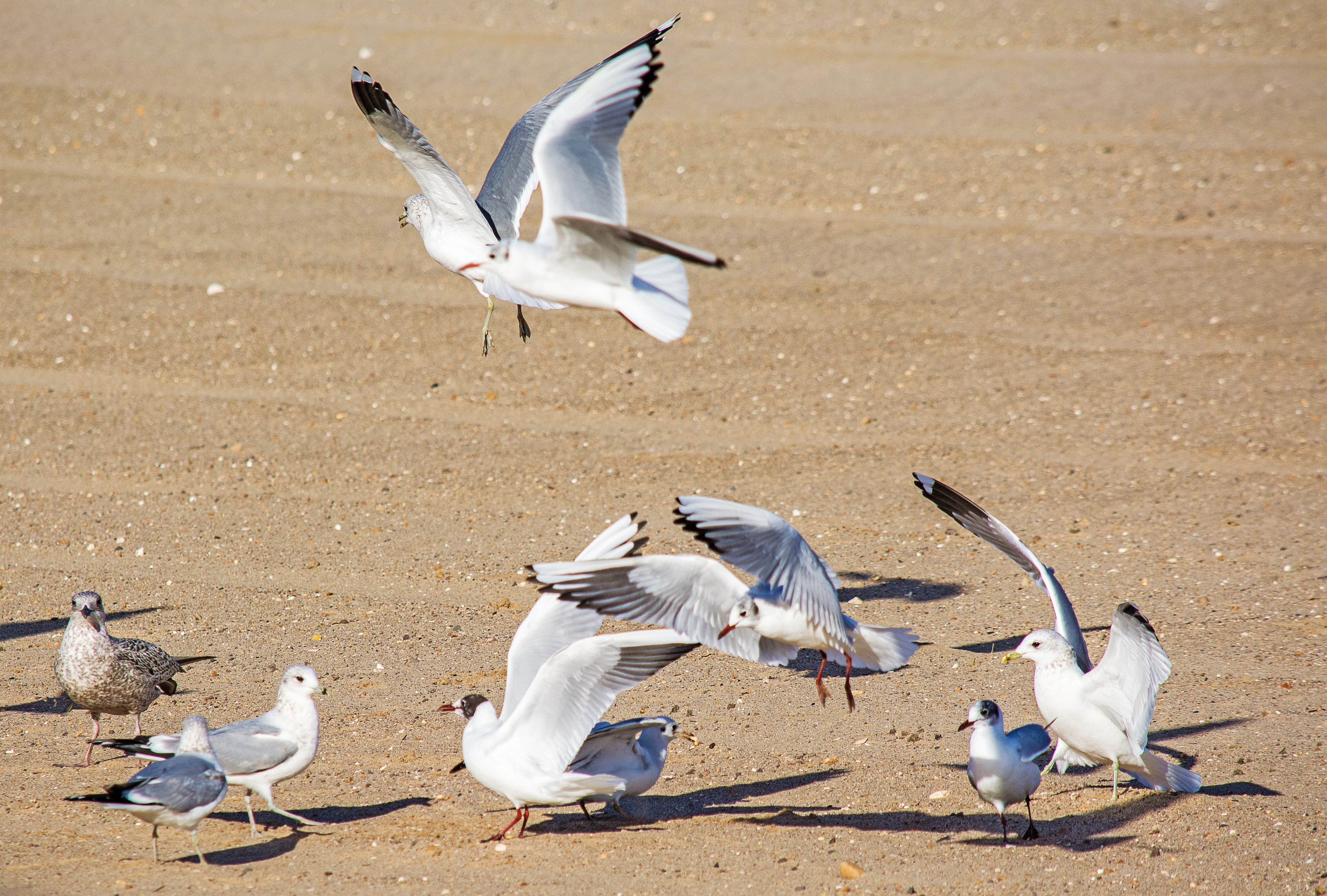 Seagulls 20