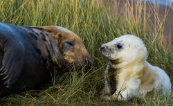Seal Pup and Mum 13