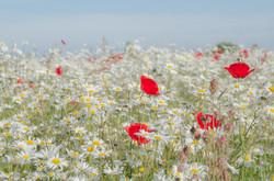 Wildflowers,Mablethorpe