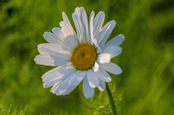 Ox eye daisy 23