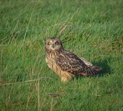 Short eared owl 19