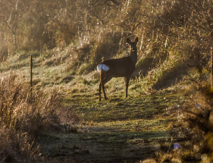 Roe deer 18