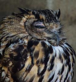 Eagle Owl 18