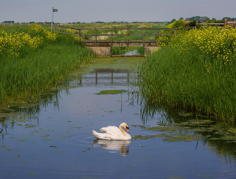 Swan on Mar dyke 18