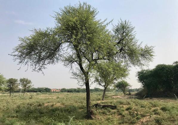 Acacia Arabica India