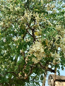 Moringa flowers on old moringa tree