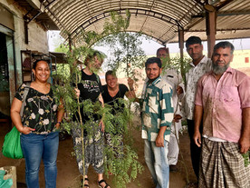 Moringa branches