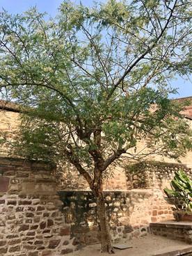 Moringa Oliefera at Jodhpur Fort