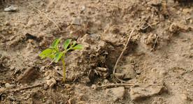 Moringa seedling