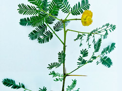 Acacia Arabica Indica