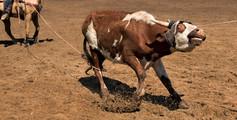 """""""Calf Roping"""""""