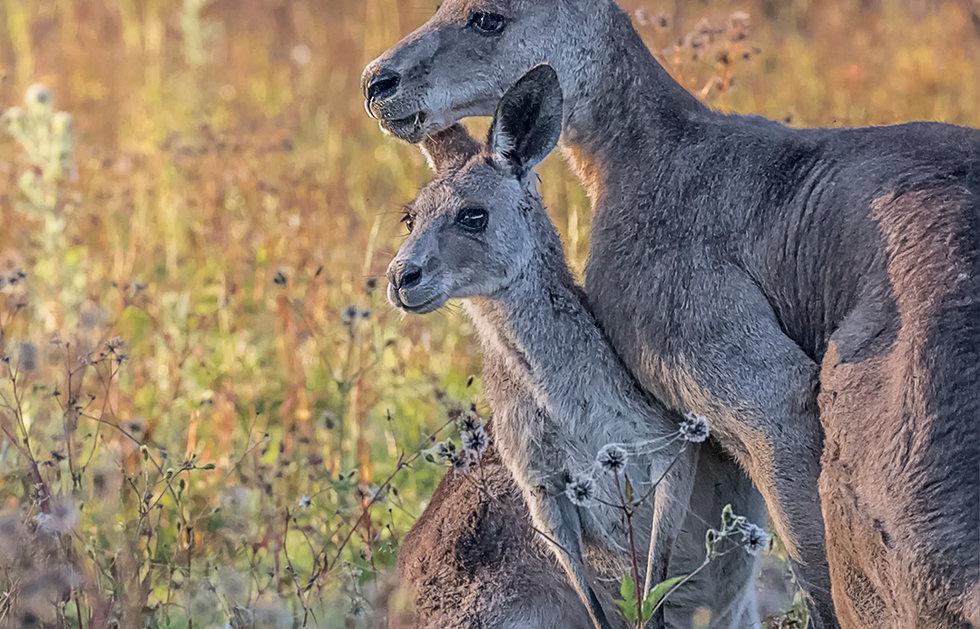 Kangaroo Embrace