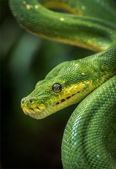 """Green Python"""