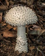 """Amanita fungus"""