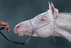 """Cremello Foal"""