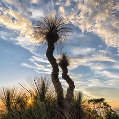 """Grasstrees at Sunset"""
