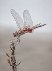 """""""Common Glider Dragonfly"""""""