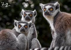 """""""Lemur Trio"""""""