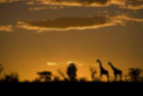 Giraffes sunset (2).jpg