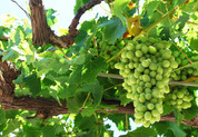 Syros grapes.jpg
