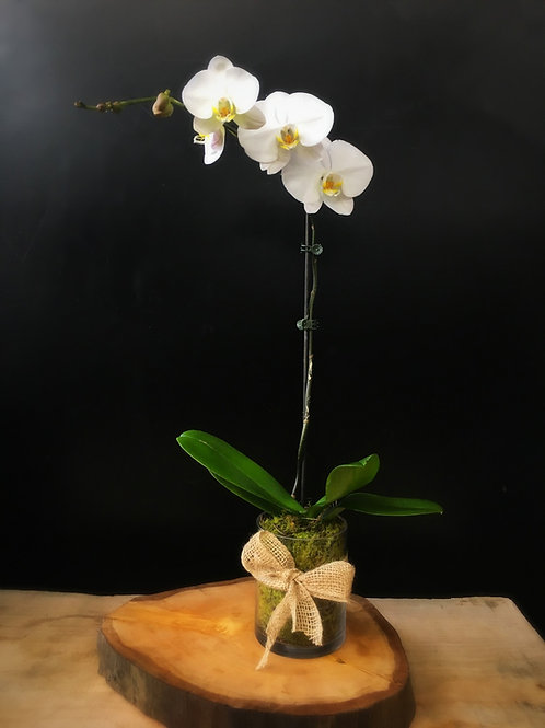 Single Stem Tall Phal Orchid in Vase