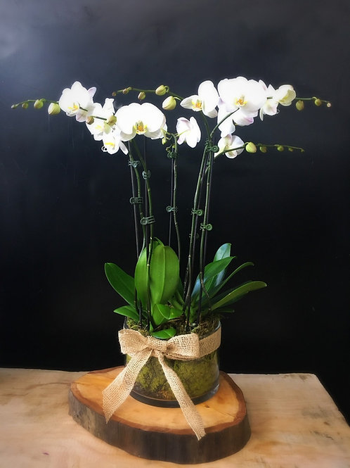 Showstopper 6 Stem Potted Phalaenopsis in Vase