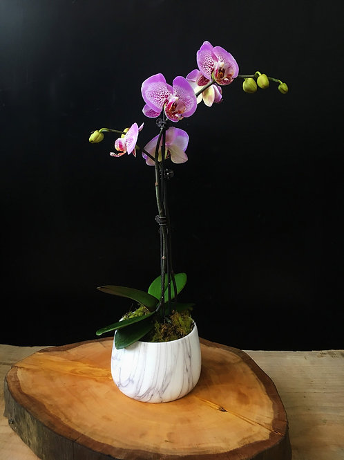 Color Phal Orchid in Pot