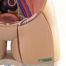 Skin organoid on original organ.jpg