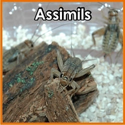 Grillo Assimilis