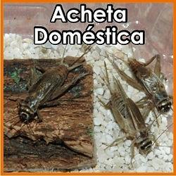 Grillo Acheta Doméstica
