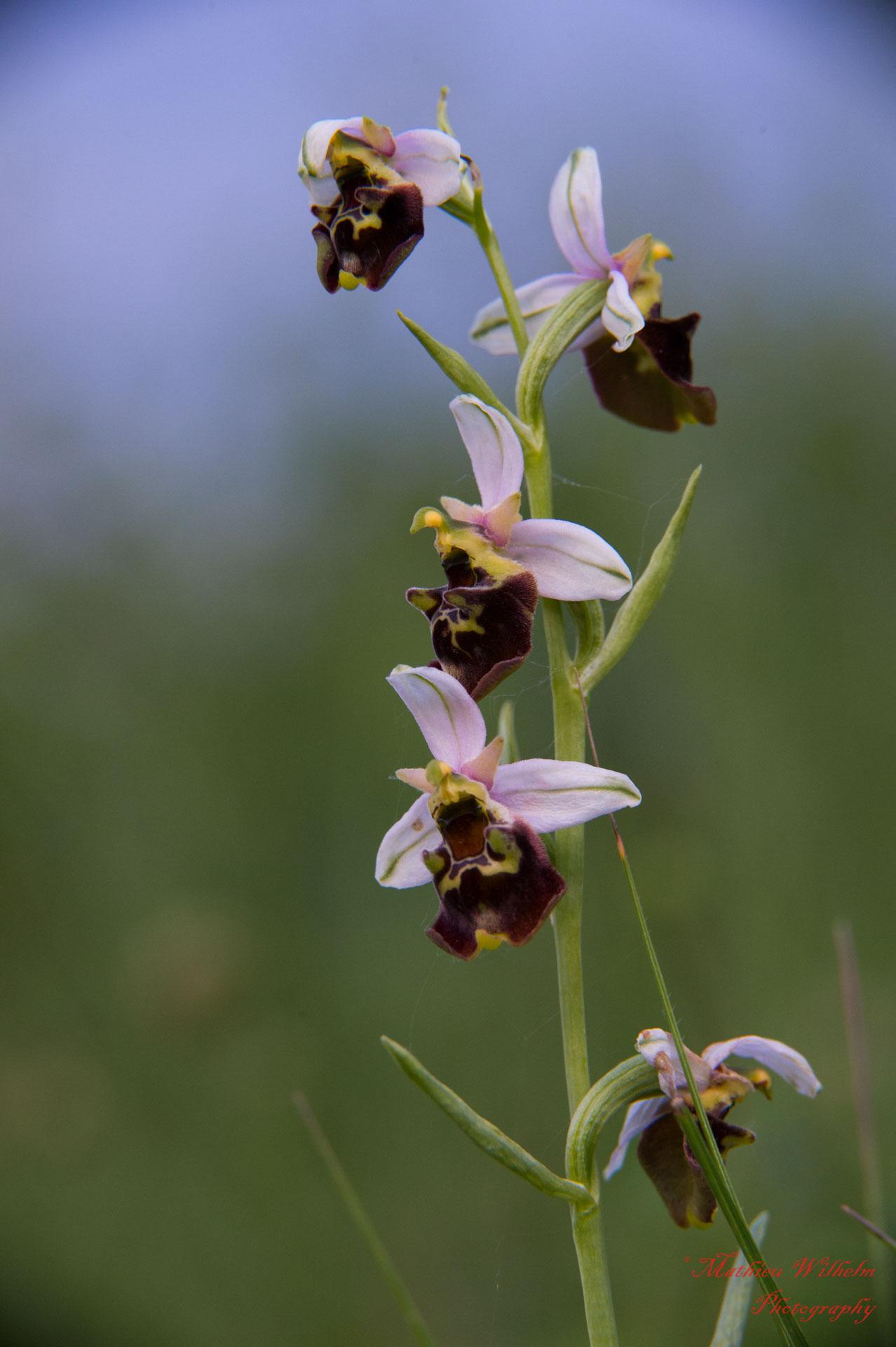 2018-05-30 orchidé bollenberg (21)