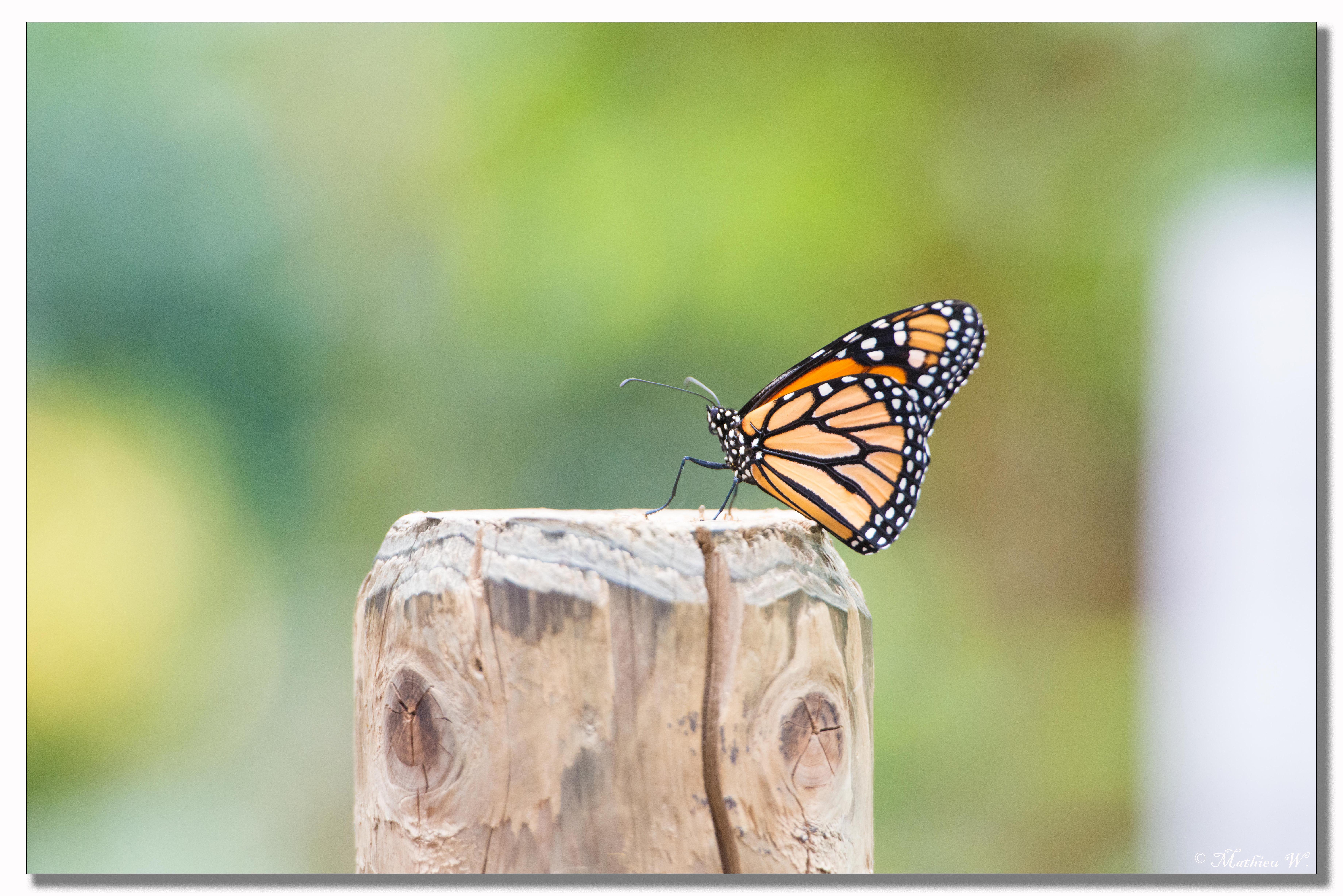 2014-05-24 Hunawihr - jardin des papillons (32)