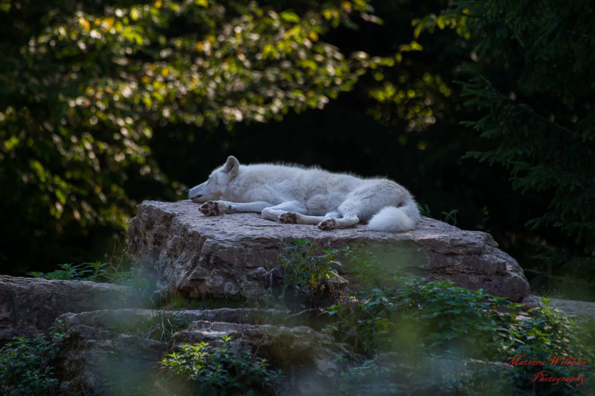 2018-09-19 Parc de sainte croix - loups