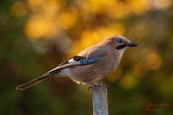 2019-11-30 Oiseaux chez Guy (31)