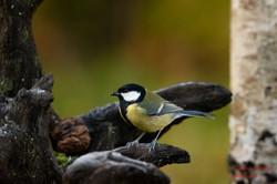 2019-11-30 Oiseaux chez Guy (12)