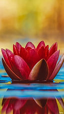 red-lotus-flower-0585.jpg