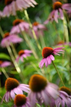 Echinacea in a garden
