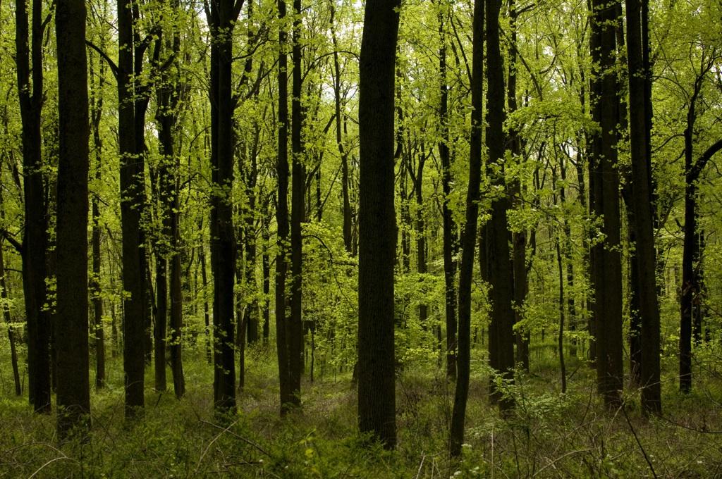 Spring Woodland