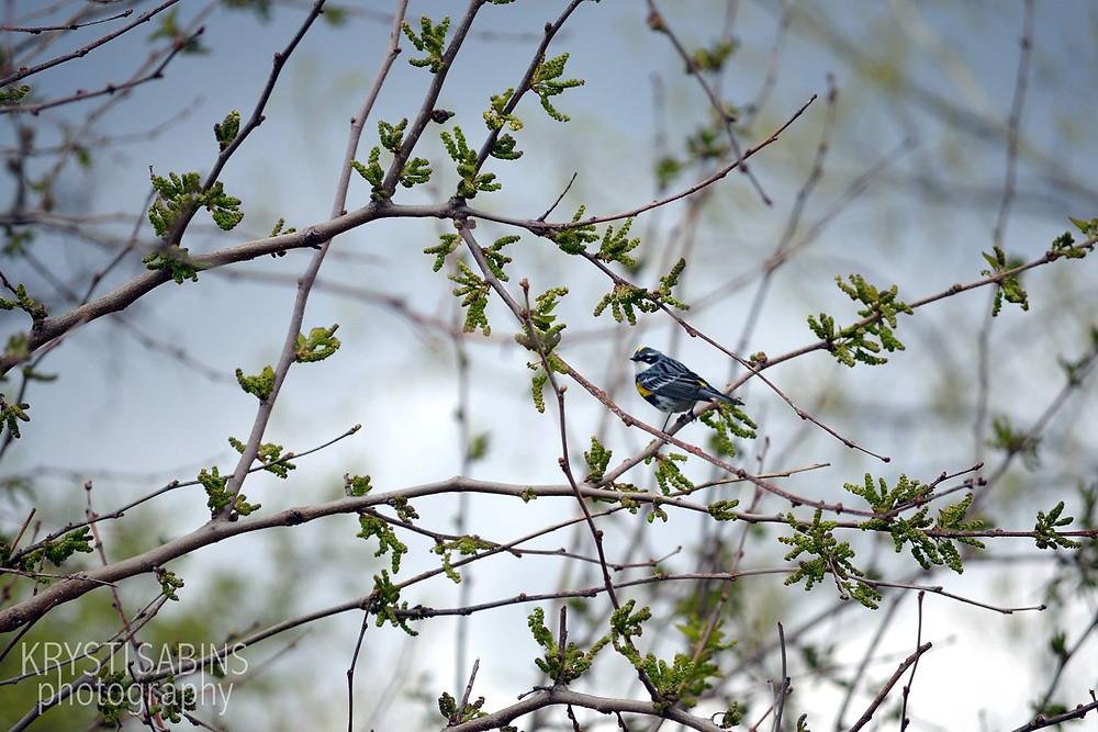 birding-dekorte-park-yellow-rumped-warbler-nj