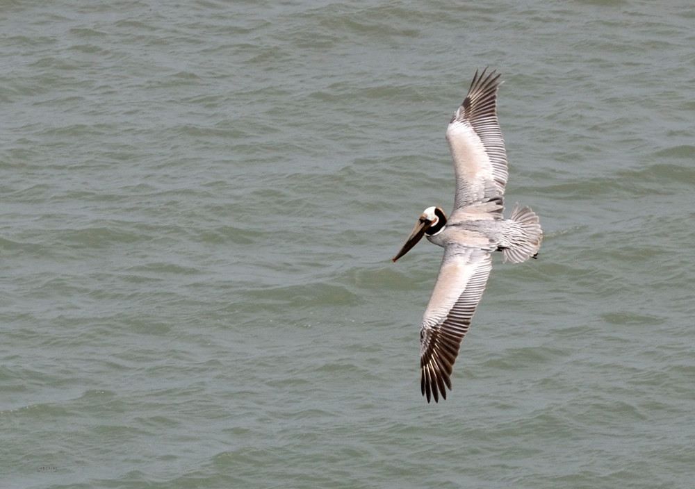 unboring-exploring-point-reyes-national-seashore-chimney-rock-pelican