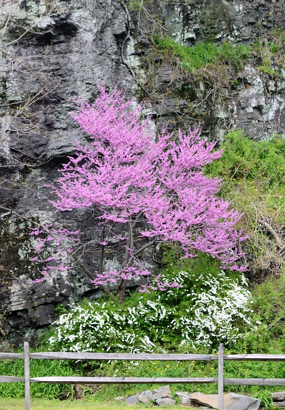 Rosebud at peak bloom