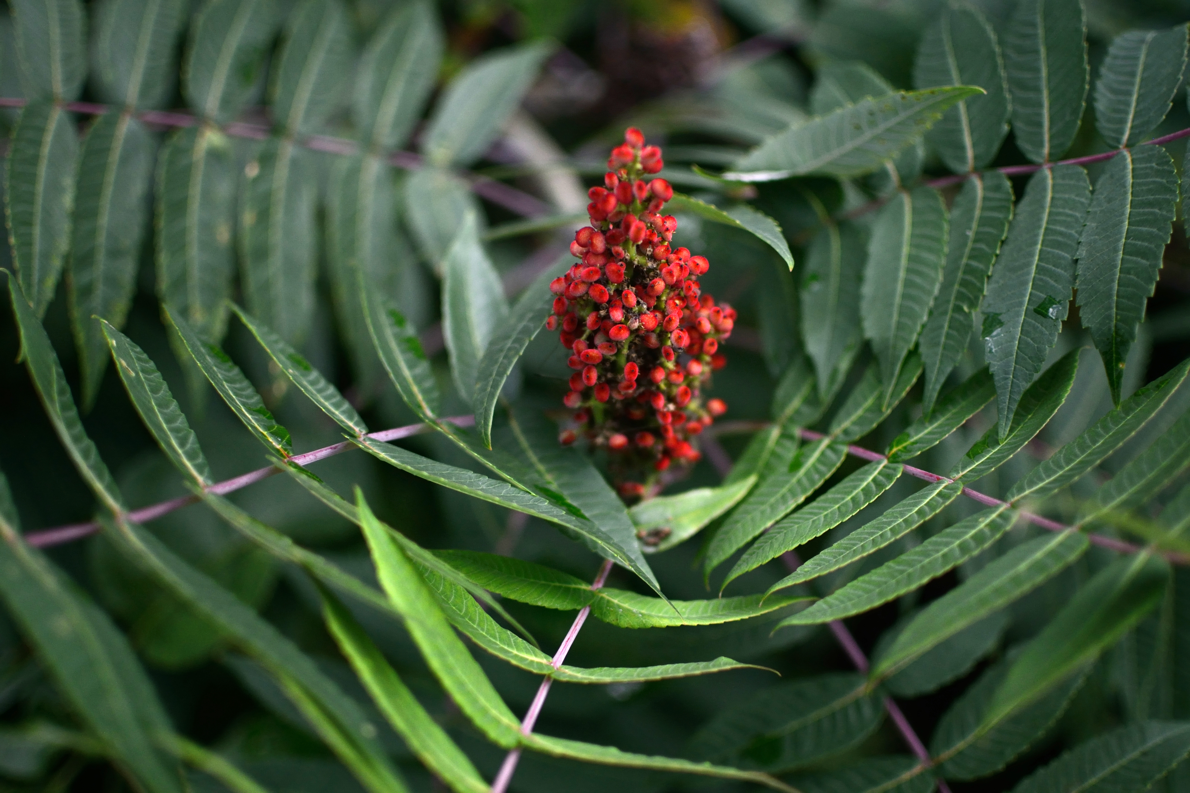 Blooming Staghorn Sumac