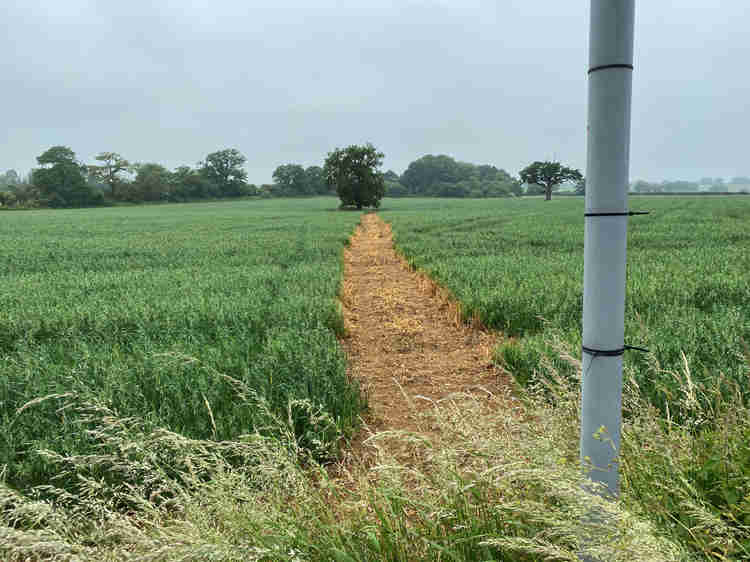 A cleared path through a field of wheat