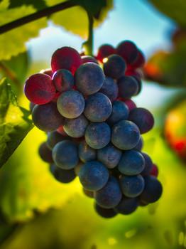 MorninSun_Grapes1.jpg