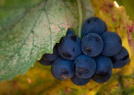 MorningSunGrapesPano-1.jpg